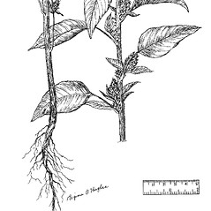 Stems: Amaranthus retroflexus. ~ By Regina O. Hughes. ~  Public Domain. ~  ~ Reed, C.F. 1970. Selected weeds of the United States. USDA Agric. Res. Ser. Agric. Handbook 336