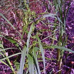 Plant form: Amaranthus tuberculatus. ~ By Arthur Haines. ~ Copyright © 2020. ~ arthurhaines[at]wildblue.net