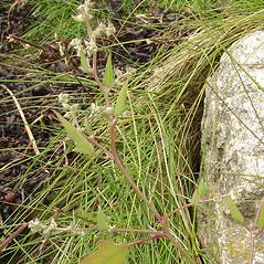 Plant form: Atriplex acadiensis. ~ By Glen Mittelhauser. ~ Copyright © 2019 Glen Mittelhauser. ~ www.mainenaturalhistory.org