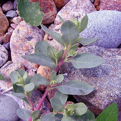 Leaves: Atriplex cristata. ~ By Arthur Haines. ~ Copyright © 2020. ~ arthurhaines[at]wildblue.net