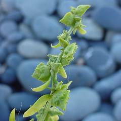 Fruits: Atriplex glabriuscula. ~ By Glen Mittelhauser. ~ Copyright © 2020 Glen Mittelhauser. ~ www.mainenaturalhistory.org