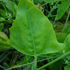 Leaves: Atriplex glabriuscula. ~ By Glen Mittelhauser. ~ Copyright © 2020 Glen Mittelhauser. ~ www.mainenaturalhistory.org