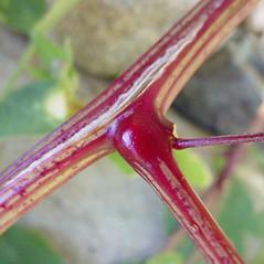 Stems: Atriplex glabriuscula. ~ By Glen Mittelhauser. ~ Copyright © 2021 Glen Mittelhauser. ~ www.mainenaturalhistory.org