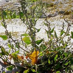 Plant form: Atriplex prostrata. ~ By Glen Mittelhauser. ~ Copyright © 2020 Glen Mittelhauser. ~ www.mainenaturalhistory.org