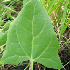 Leaves: Atriplex prostrata. ~ By Donna Kausen. ~ Copyright © 2020 Donna Kausen. ~ 33 Bears Den, Addison, ME 04606