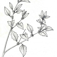 Plant form: Atriplex rosea. ~ By New York State Museum. ~ Copyright © 2019 New York State Museum. ~ www.nysm.nysed.gov/imagerequest