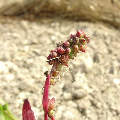 Fruits: Atriplex subspicata. ~ By Glen Mittelhauser. ~ Copyright © 2020 Glen Mittelhauser. ~ www.mainenaturalhistory.org