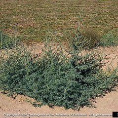 Plant form: Bassia hyssopifolia. ~ By Joseph DiTomaso. ~ Copyright © 2021 CC BY-NC 3.0. ~  ~ Bugwood - www.bugwood.org/