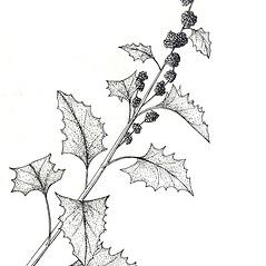 Plant form: Chenopodium capitatum. ~ By New York State Museum. ~ Copyright © 2020 New York State Museum. ~ www.nysm.nysed.gov/imagerequest
