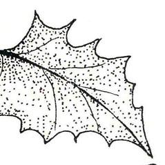 Leaves: Chenopodium capitatum. ~ By New York State Museum. ~ Copyright © 2020 New York State Museum. ~ www.nysm.nysed.gov/imagerequest