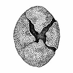 Fruits: Chenopodium foggii. ~ By Elizabeth Farnsworth. ~ Copyright © 2020 New England Wild Flower Society. ~ Image Request, images[at]newenglandwild.org