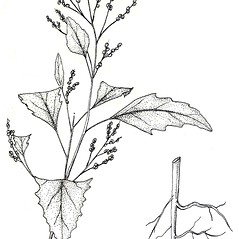 Plant form: Chenopodium murale. ~ By New York State Museum. ~ Copyright © 2020 New York State Museum. ~ www.nysm.nysed.gov/imagerequest