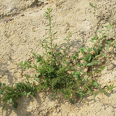 Plant form: Chenopodium polyspermum. ~ By Paul Busselen . ~ Copyright © 2020 Paul Busselen . ~ No permission necessary; any use permitted ~ Plant Guide, Biology Department, Katholieke Universiteit Leuven, Campus Kortrijk