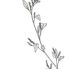 Plant form: Chenopodium strictum. ~ By New York State Museum. ~ Copyright © 2019 New York State Museum. ~ www.nysm.nysed.gov/imagerequest