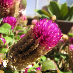Flowers: Gomphrena globosa. ~ By Kim Starr. ~ Copyright © 2020 CC BY 3.0. ~ starrimages[at]hear.org ~ Plants of Hawaii - www.hear.org/starr/images/?o=plants