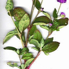 Plant form: Gomphrena globosa. ~ By Forest & Kim Starr. ~ Copyright © 2020 CC BY-NC 3.0. ~  ~ Bugwood - www.bugwood.org/