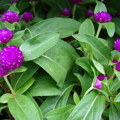 Leaves: Gomphrena globosa. ~ By Kim Starr. ~ Copyright © 2021 CC BY 3.0. ~ starrimages[at]hear.org ~ Plants of Hawaii - www.hear.org/starr/images/?o=plants