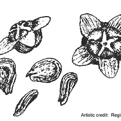 Fruits: Kochia scoparia. ~ By Regina O. Hughes. ~  Public Domain. ~  ~ Reed, C.F. 1970. Selected weeds of the United States. USDA Agric. Res. Ser. Agric. Handbook 336