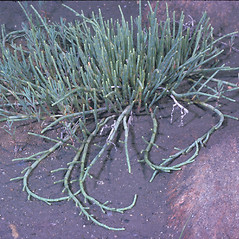 Plant form: Salicornia depressa. ~ By Frank Bramley. ~ Copyright © 2021 New England Wild Flower Society. ~ Image Request, images[at]newenglandwild.org