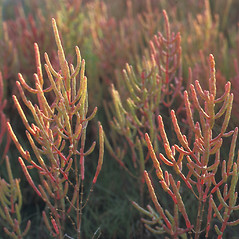 Plant form: Salicornia maritima. ~ By Frank Bramley. ~ Copyright © 2020 New England Wild Flower Society. ~ Image Request, images[at]newenglandwild.org
