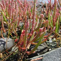 Plant form: Salicornia maritima. ~ By Glen Mittelhauser. ~ Copyright © 2021 Glen Mittelhauser. ~ www.mainenaturalhistory.org