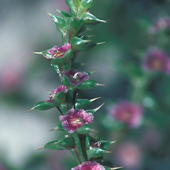 Flowers: Salsola kali. ~ By John Lynch. ~ Copyright © 2020 New England Wild Flower Society. ~ Image Request, images[at]newenglandwild.org