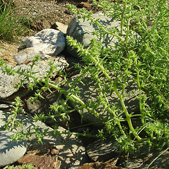 Plant form: Salsola kali. ~ By Glen Mittelhauser. ~ Copyright © 2019 Glen Mittelhauser. ~ www.mainenaturalhistory.org