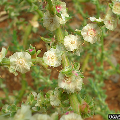 Flowers: Salsola tragus. ~ By Forest & Kim Starr. ~ Copyright © 2020 CC BY-NC 3.0. ~  ~ Bugwood - www.bugwood.org/