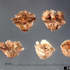 Fruits: Salsola tragus. ~ By Julia Scher. ~ Copyright © 2021 CC BY-NC 3.0. ~  ~ Bugwood - www.bugwood.org/