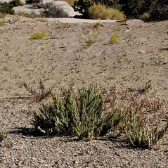 Plant form: Salsola tragus. ~ By Jean Pawek. ~ Copyright © 2020 Jean Pawek. ~ Requests for image use not currently accepted by copyright holder ~ CalPhotos - calphotos.berkeley.edu/flora/