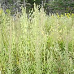 Plant form: Suaeda calceoliformis. ~ By Jill Weber. ~ Copyright © 2021 Jill Weber. ~ jillweber03[at]gmail.com