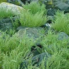Plant form: Suaeda maritima. ~ By Glen Mittelhauser. ~ Copyright © 2021 Glen Mittelhauser. ~ www.mainenaturalhistory.org