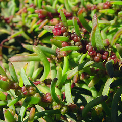 Leaves: Suaeda maritima. ~ By Glen Mittelhauser. ~ Copyright © 2021 Glen Mittelhauser. ~ www.mainenaturalhistory.org