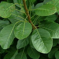 Leaves: Cotinus coggygria. ~ By Paul S. Drobot. ~ Copyright © 2021 Paul S. Drobot. ~ www.plantstogrow.com, www.plantstockphotos.com ~ Robert W. Freckmann Herbarium, U. of Wisconsin-Stevens Point