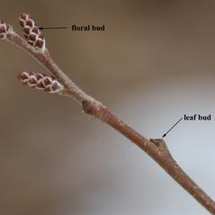 Winter buds: Rhus aromatica. ~ By Dan Jaffe. ~ Copyright © 2021 Dan Jaffe. ~ djaffe[at]newenglandwild.org