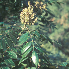 Flowers: Rhus copallinum. ~ By Lawrence Newcomb. ~ Copyright © 2021 New England Wild Flower Society. ~ Image Request, images[at]newenglandwild.org