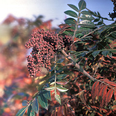 Fruits: Rhus copallinum. ~ By Frank Bramley. ~ Copyright © 2020 New England Wild Flower Society. ~ Image Request, images[at]newenglandwild.org