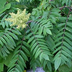 Leaves: Rhus glabra. ~ By Arieh Tal. ~ Copyright © 2020 Arieh Tal. ~ http://botphoto.com/ ~ Arieh Tal - botphoto.com