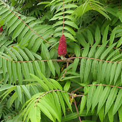 Plant form: Rhus hirta. ~ By Donna Kausen. ~ Copyright © 2020 Donna Kausen. ~ 33 Bears Den, Addison, ME 04606