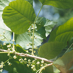 Flowers: Toxicodendron radicans. ~ By Lawrence Newcomb. ~ Copyright © 2021 New England Wild Flower Society. ~ Image Request, images[at]newenglandwild.org
