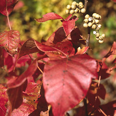 Fruits: Toxicodendron radicans. ~ By Adelaide Pratt. ~ Copyright © 2021 New England Wild Flower Society. ~ Image Request, images[at]newenglandwild.org