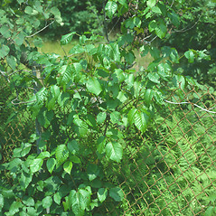 Plant form: Toxicodendron radicans. ~ By John Lynch. ~ Copyright © 2021 New England Wild Flower Society. ~ Image Request, images[at]newenglandwild.org