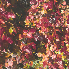 Leaves: Toxicodendron radicans. ~ By John Lynch. ~ Copyright © 2021 New England Wild Flower Society. ~ Image Request, images[at]newenglandwild.org