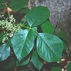 Leaves: Toxicodendron radicans. ~ By Roland Boutwell. ~ Copyright © 2021 Roland Boutwell. ~ Requests for image use not currently accepted by copyright holder