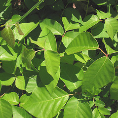 Leaves: Toxicodendron rydbergii. ~ By Marilee Lovit. ~ Copyright © 2020 Marilee Lovit. ~ lovitm[at]gmail.com