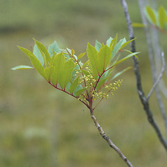 Flowers: Toxicodendron vernix. ~ By Frank Bramley. ~ Copyright © 2021 New England Wild Flower Society. ~ Image Request, images[at]newenglandwild.org