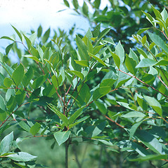 Plant form: Toxicodendron vernix. ~ By Lucien Taylor. ~ Copyright © 2020 New England Wild Flower Society. ~ Image Request, images[at]newenglandwild.org