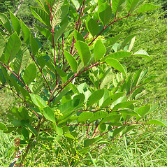 Plant form: Toxicodendron vernix. ~ By Vermont Nongame & Natural Heritage Program. ~ Copyright © 2020 Vermont Nongame & Natural Heritage Program. ~ Bob.Popp[at]state.vt.us ~ Vt Nongame & Natural Heritage Program