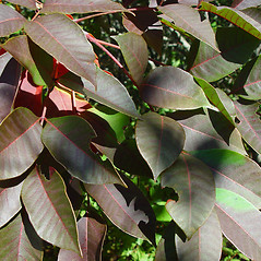 Leaves: Toxicodendron vernix. ~ By Arthur Haines. ~ Copyright © 2020. ~ arthurhaines[at]wildblue.net