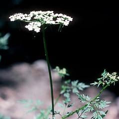Leaves: Aethusa cynapium. ~ By Carol Levine. ~ Copyright © 2021 Carol Levine. ~ carolflora[at]optonline.net